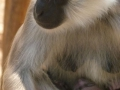 Animals_Ape_Gibbon.JPG