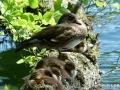 Animals_Bird_Duck.JPG
