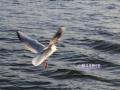 Animals_Bird_Seagull.JPG