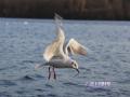 Animals_Bird_Seagull1.JPG