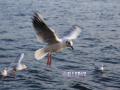 Animals_Bird_Seagull2.JPG