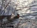 Animals_Bird_Swan.JPG