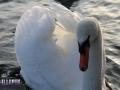 Animals_Bird_Swan1.JPG