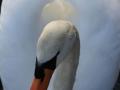 Animals_Bird_Swan3.JPG
