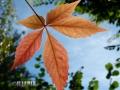 Flowers_Leaf_orange.JPG