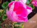 Flowers_pink_.JPG