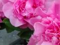 Flowers_pink_2.JPG