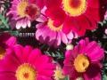 Flowers_pink_Margarite.JPG