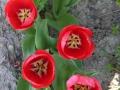 Flowers_red_Tulip.JPG