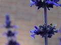 Flowers_violet_.JPG