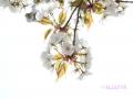 Flowers_white_Cherry.JPG