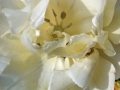 Flowers_white_Tulip.JPG